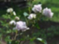 Hi-HoSilver-Rose