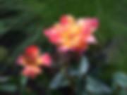 ambossfunken-rose