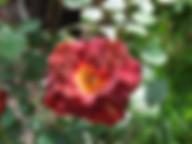 mysterious-Rose.jpg