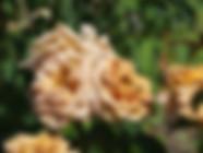 Honey-Dijon-Rose.JPG
