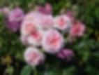 james-galway-rose