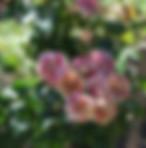 paparazzi-rose