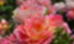 rose-des-cisterciens-rose