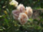 Mokarosa-Rose.jpg