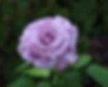 neptune-rose
