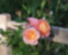briosa-rose