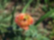 ros-odiele-rose