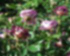 huddersfiel-choral-society-rose