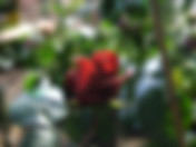 hot-chocolate-rose