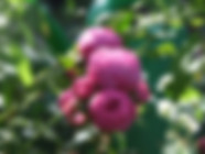 pomponella-rose