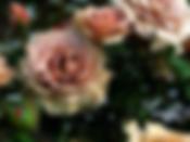 Mokarosa-Rose