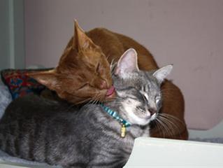 Como introduzir um novo gato adulto ao seu gato