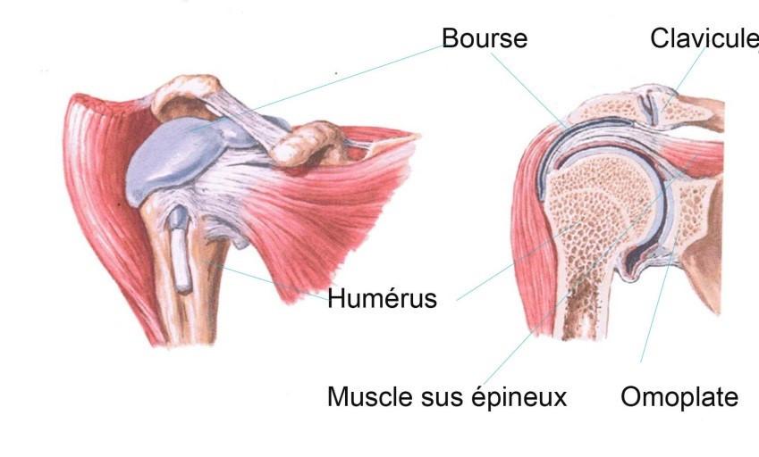 (Image de Ciba Collection of Medical Illustrations, vol 8 Muskuloskeletal System, 1987; Frank H. Netter)