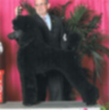 standard poodle michigan