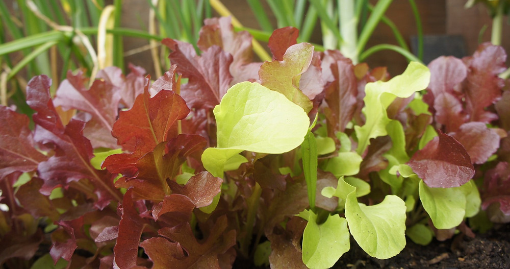 Lettuce planted in garden bed
