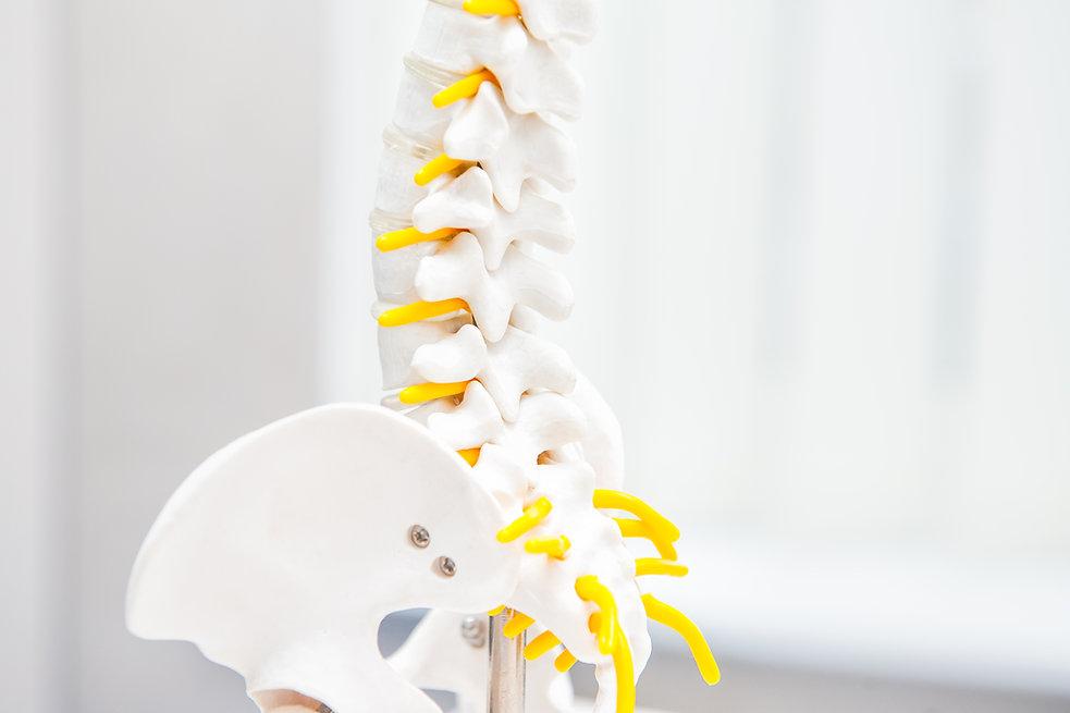 Close up human loins spine skeleton mode