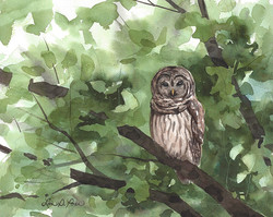 Barred Owl in the Woods