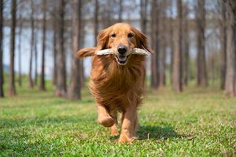 Golden retriever running on the grass wi