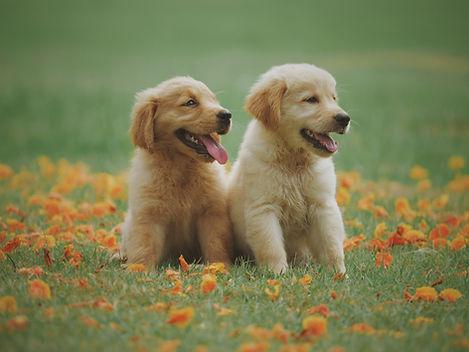 Puppy dog golden retriever on the park green field background.jpg
