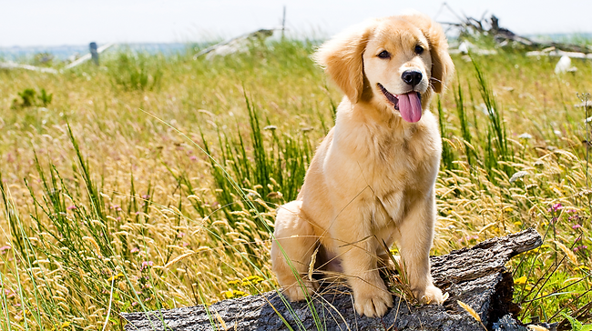 Golden Retriever Puppy Outside_edited.png