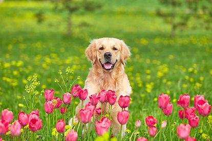 Golden Retriever sitting in tulip flower fields.jpg