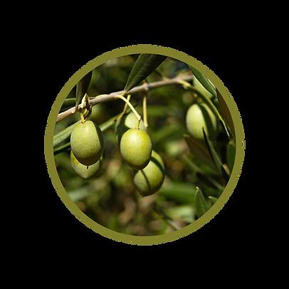 Oliven.png