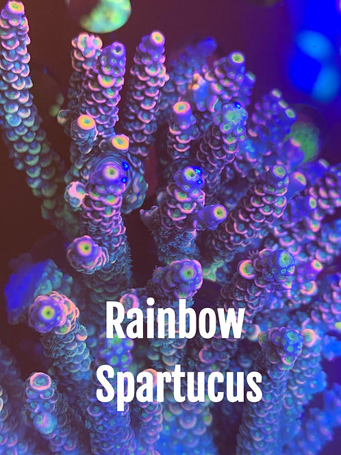 Highendsticks Rainbow Spartucus