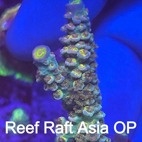 Reef Raft Asia OP