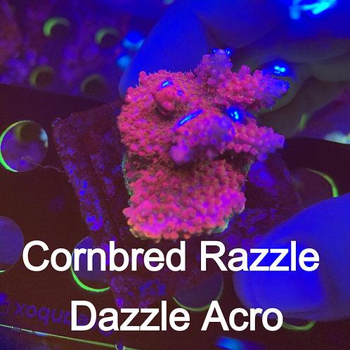 Cornbred Razzle Dazzle Acro