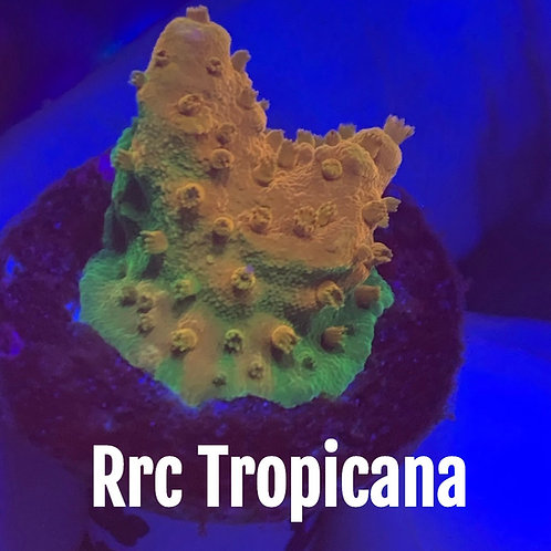 Rrc Tropicana