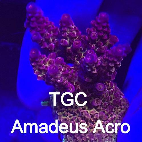 TGC Amadeus Acro