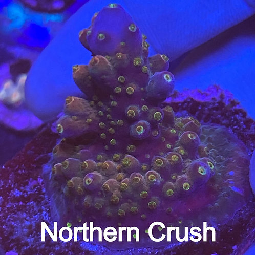 TGC Northern Crush