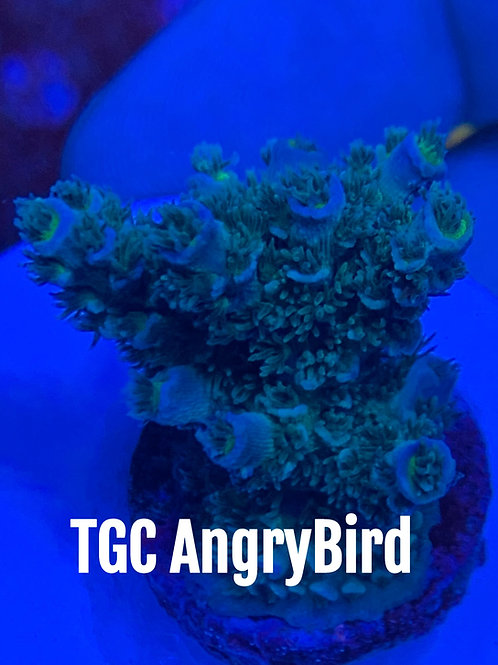 TGC AngryBird