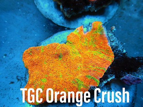 TGC Orange Crush