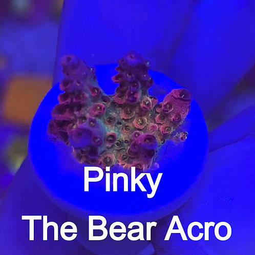 Pinky The Bear Acro