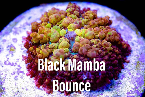 Black Mamba bounce
