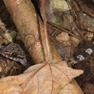 Gecko-01003.JPG