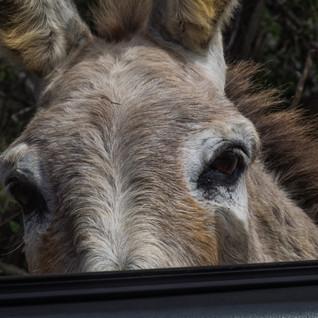 Esel schaut ins Auto