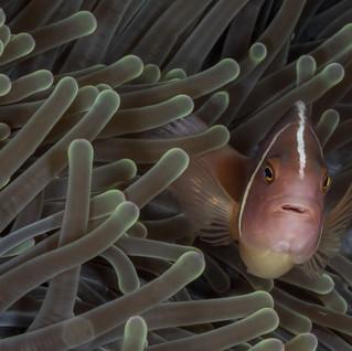 Anemonenfisch C260060 -2.jpg
