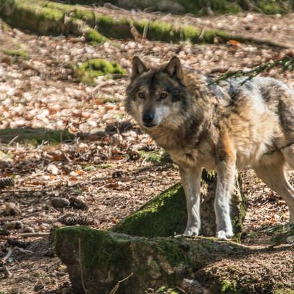 Wolf am Nachmittag