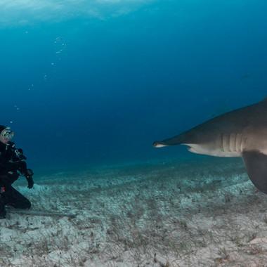 Grosser Hammerhai und ich. Fotografiert von Markus