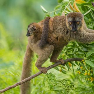 Brauner Lemur-05006.jpg