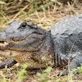 Alligator-Mama