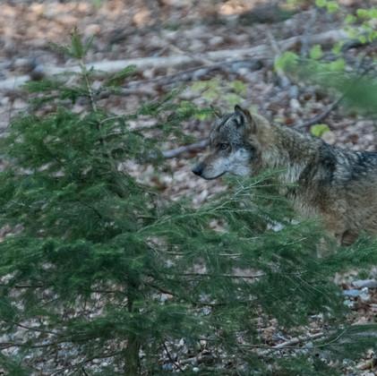 Wolf morgens um 7 Uhr