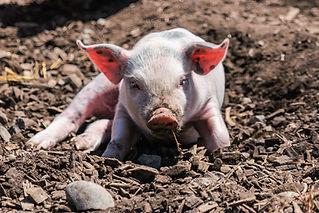 Schweinchen-08894.jpg