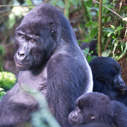 Gorilla-08874.jpg