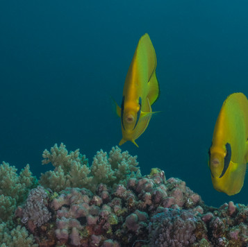 Makenfalterfische