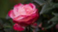Rose-09033.jpg