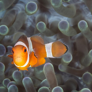 Anemonenfisch C260040-2.jpg