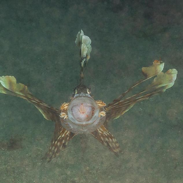 Innenleben eines Rotfeuerfisches